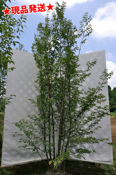 ヒメシャラ 株立 2.1m-2.5m程度(根鉢含まず) 落葉樹 庭木