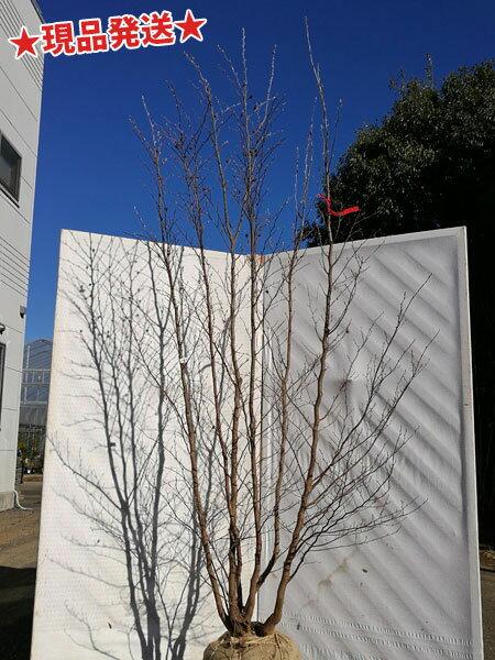 ヒメシャラ 株立 2.3m-2.4m程度(根鉢含まず)