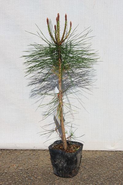 【3本セット】【6カ月枯れ保証】「アカマツ(赤松)」 苗木 0.3m程度