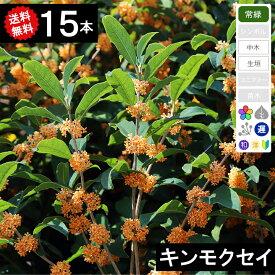 ◆送料無料◆【15本】 キンモクセイ(金木犀)高さ70cm〜1.0m程度◆枯れ保証付き