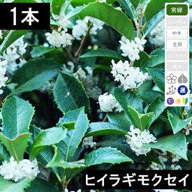 【1本】ヒイラギモクセイ 高さ80cm〜1.0m程度 ポット直径15〜18cm