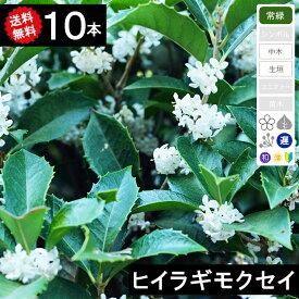 【送料無料】【10本】【生垣用】ヒイラギモクセイ 高さ80cm〜1.0m程度 ポット直径15〜18cm