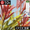 ◆送料無料◆【10本】 イヌマキ「匝瑳」樹70cm〜1.0m程度◆枯れ保証付き