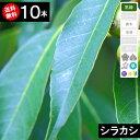 ◆送料無料◆【10本】シラカシ 樹高70cm〜1.0m程度◆枯れ保証付き