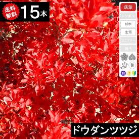 ◆送料無料◆【15本】 ドウダンツツジ 樹高30cm〜50cm◆枯れ保証付き