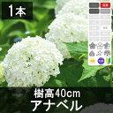 アジサイ「アナベル」白花 樹高30cm〜50cm程度