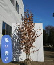 【不在置きOK限定販売価格】ヤマコウバシ 株立(山採りもの) 2.2m程度(根鉢含まず)