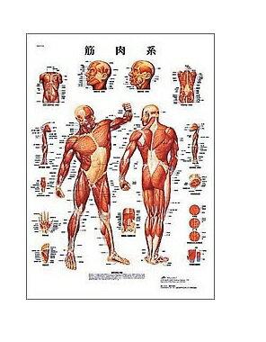 【感謝価格】世界基準 3Bサイエンフィティック社医学チャート・日本語版、B2ポスター「筋肉系」