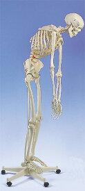 【送料無料】【無料健康相談付】3B社 A15 フレッド骨格モデル脊柱可動型 直立型スタンド仕様