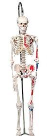 【送料無料】【無料健康相談 対象製品】3B社 ショーティー 1/2縮尺型全身骨格モデル 筋・起始/停止色表示型 吊り下げスタンドモデル(A18/6)