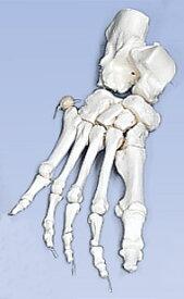 【感謝価格】3B社 足骨格模型 A30/2 足の骨モデルナイロン 糸つなぎ