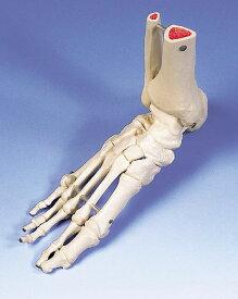【感謝価格】【特価販売】 3B社 足骨格模型 A31R 足の骨モデル脛骨・腓骨付き ワイヤーつなぎ
