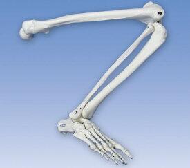 【送料無料】【無料健康相談 対象製品】【特価販売】 3B社 下肢骨格模型 自由下肢骨 A35R 自由下肢骨モデル