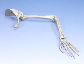 【送料無料】【感謝価格】【特価販売】 3B社 上肢骨模型 A46 上肢骨モデル上肢帯付