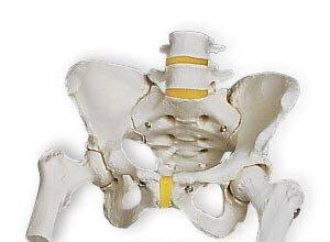 【送料無料】【感謝価格】【特価販売】3B社骨盤模型 女性骨盤モデル大腿骨付(a62)smtb-s】 【fsp2124-6m】【02P06Aug16】