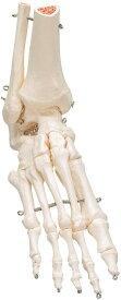 【送料無料】【感謝価格】【特価販売】 3B社 足骨格模型 A31/1 足の骨モデル脛骨・腓骨付き エラスティックコードつなぎ