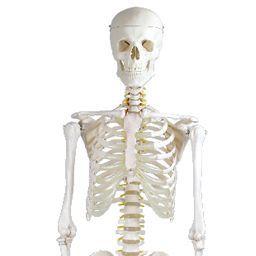 全身骨格模型 標準型 等身大 IK10 【トワテック】【02P06Aug16】