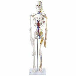 全身骨格模型 1/2サイズ 主要動脈・静脈・神経根付 IK22 【トワテック】【02P06Aug16】