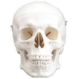 頭蓋骨模型 標準型 3分解モデル IK30 【トワテック】【02P06Aug16】