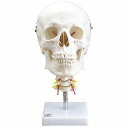 頭蓋骨模型 頸椎付属 4分解モデル IK31 【トワテック】【02P06Aug16】