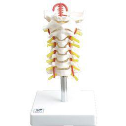 頚椎模型 実物大 IK50 【トワテック】【02P06Aug16】