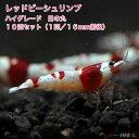 【今週のおすすめ】レッドビーシュリンプ ハイグレード 日の丸 10匹セット(1匹/16mm前後)