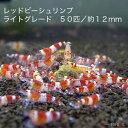 【創業21周年セール】レッドビーシュリンプ ライトグレード 50匹セット(1匹/12mm前後)