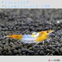 【創業21周年セール】チェリーシュリンプ オレンジルリーシュリンプ 10匹