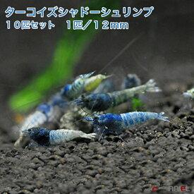 【今週のおすすめ】ターコイズシャドーシュリンプ 10匹セット(1匹/12mm前後)