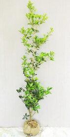 厄除け、縁起木として植えられる【柊(ヒイラギ)】 樹高1.5m前後 根巻き苗
