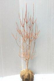 樹形の綺麗な優良品【ドウダンツツジ】樹高1.0m前後 根巻き苗 どうだんつつじ