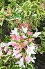 【斑入りウツギ(フイリウツギ)、フロリダ・バリエガータ】根巻き苗樹高1.5m前後葉に綺麗な覆輪・ピンクと白の花が同時に楽しめる