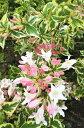 【斑入り大紅空木(フイリオオベニウツギ)】樹高1.2m前後 (フイリウツギ)、根巻き苗 葉に綺麗な覆輪