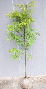 【琴の糸紅葉(コトノイトモミジ)】樹高1.0m前後 根巻き苗 ことのいともみじ