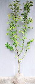 【花梨(カリン)】1.5m前後 2年生接ぎ木根巻き大苗果樹苗 かりん 縁起木・シンボルツリーに