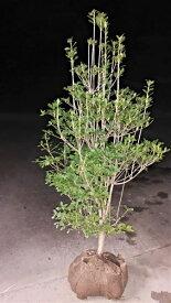 樹形の綺麗な優良品【ドウダンツツジ】樹高1.1m前後 根巻き苗 どうだんつつじ