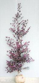 【赤葉紅花常盤満作(アカバベニバナトキワマンサク)】樹高1.2m前後 根巻き苗 あかばべにばなときわまんさく