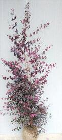 【赤葉紅花常盤満作(アカバベニバナトキワマンサク)】樹高1.5m前後 根巻き大苗