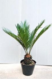 【蘇鉄(ソテツ)】16.5cmポット 樹高50cm前後 南国風の観葉植物 シンボルツリー そてつ