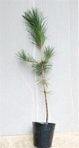 【黒松(クロマツ)】樹高70cm前後 13.5cmポット苗 くろまつ