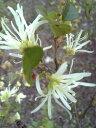 【白花常盤満作(シロバナトキワマンサク)】根巻き苗 樹高1.2m前後