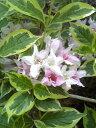 【斑入りウツギ(フイリウツギ)、フロリダ・バリエガータ】根巻き苗樹高1.2m前後 葉に綺麗な覆輪・ピンクと白の花が…