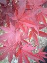 赤い葉のモミジのシンボルツリーに【野村もみじ(ノムラモミジ)】樹高1.5m前後 根巻き接ぎ木苗