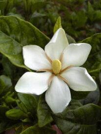 開花中苗【クチナシ(梔子)】樹高1.0m前後 根巻き苗 強い芳香の花と実が楽しめる