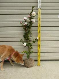 【朝倉山茶花(アサクラサザンカ)】樹高1.0m前後根巻き苗  あさくらさざんか