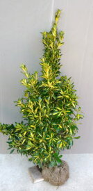 【金マサキ(ナカフキンマサキ)】樹高1.0m前後 根巻き苗 きんまさき