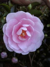 【乙女山茶花(オトメサザンカ)】樹高1.0m前後 根巻き苗  淡桃色の花 おとめさざんか