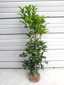 【金木犀(キンモクセイ)】樹高1.0m前後 とても良い香りの花