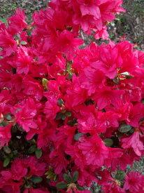 【今猩々(イマショウジョ】樹高60cm前後 根巻き苗 赤花の久留米つつじ(クルメツツジ)