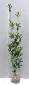 【銀木犀(ギンモクセイ)】樹高1.2m前後 根巻き苗